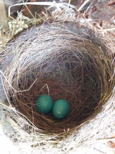 Two small robin's eggs laid so far inside the wood pile nest