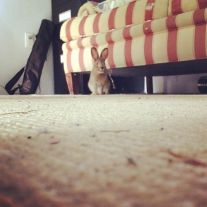 Curious rabbit in the office