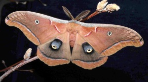 Polyphemus moth (image taken from web)