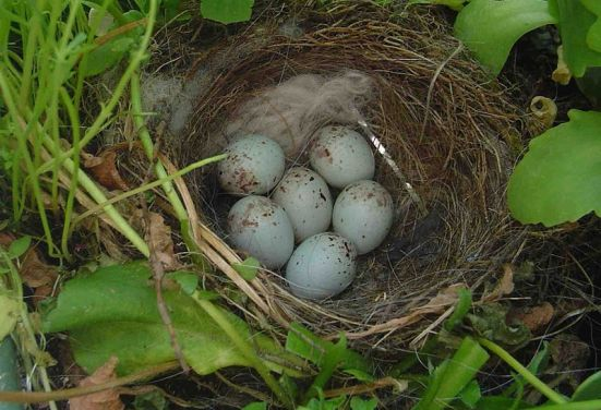 American-Goldfinch-Eggs