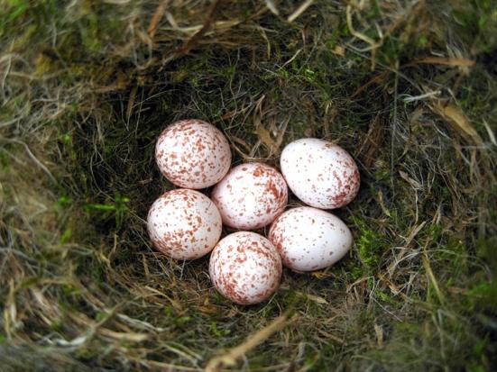 chicakdee_eggs