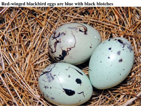red-Winged_eggs_more