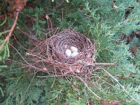 red_cardinal_nest