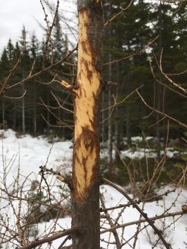 Porcupine marks
